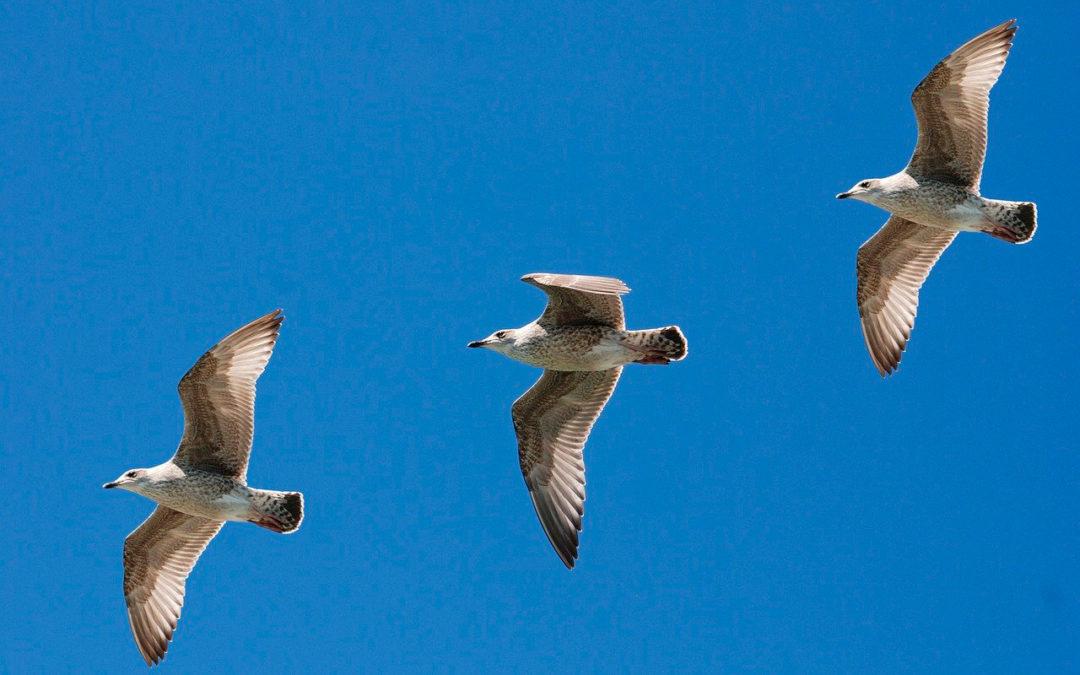 Gaviotas control de aves