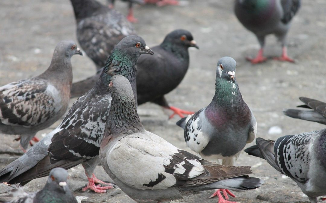 Palomas Control de Aves