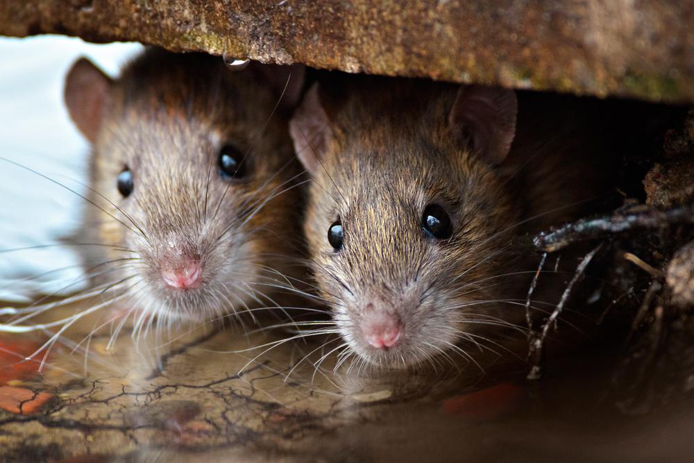 Ratones Marrones